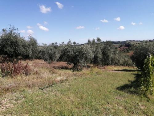 Terreno Agricolo in Vendita a Morro d'Alba